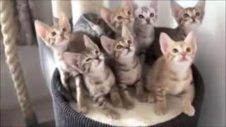 Смешные кошки танцуют  Лучшие видео приколы с кошками