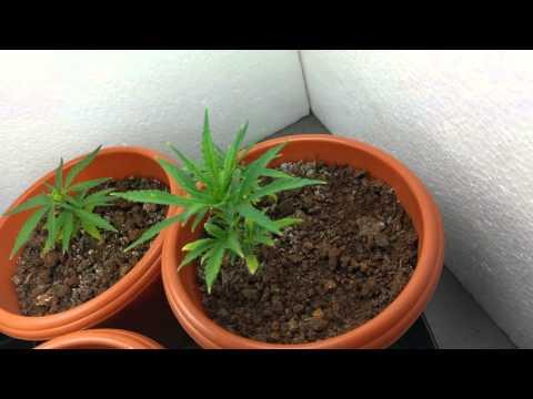 Growing CANNABIS SATIVA | Week 3.5 | Indoor