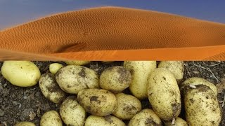 Allotment Diary : Growing Potatoes in Sand Experiment.