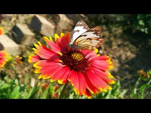 Beautiful Bees and Butterflies on my gaillardia flowers