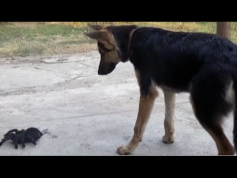 German Shepherd Dog vs RC Spider Toy - Dog Scared by Toy