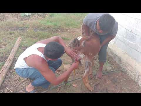Assisting Jamnapari  goat while   giving birth!!! Amazing!!!!🐐🐐🐐🐐