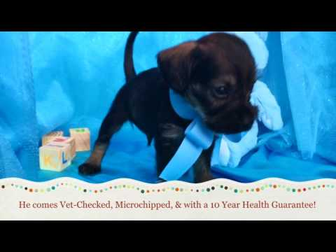 Balto The Cockerschnoodle Puppy For Sale In NC!