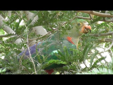 King-Parrot on Hot Xmas Eve
