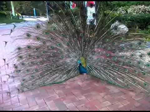 peacock @ sentosa