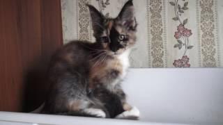ЛИРИКУМ Виаль Бестовна 2,5 месяца красивая куколка мейн-кун