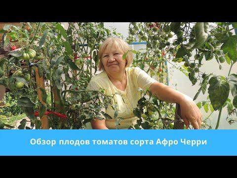 Обзор плодов томатов сорта Афро Черри