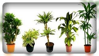 Крупные теневыносливые комнатные растения