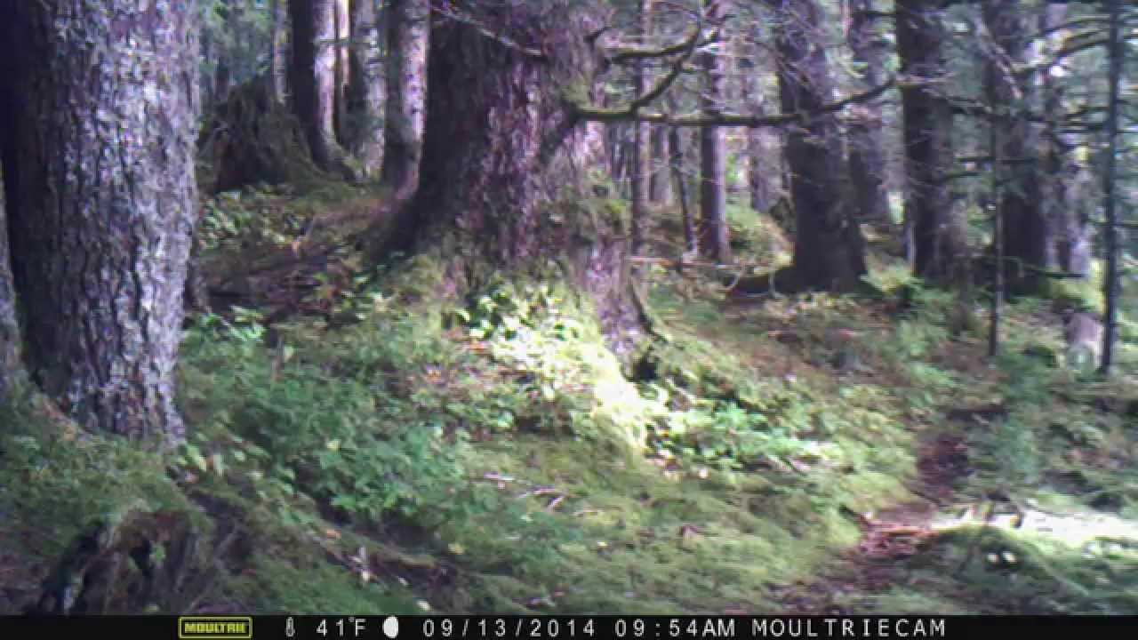 sitka black personals Sitka black-tailed deer are closely related to the larger columbia black  dating at 8,180 years old  the cordova chamber of commerce introduced sitka black.