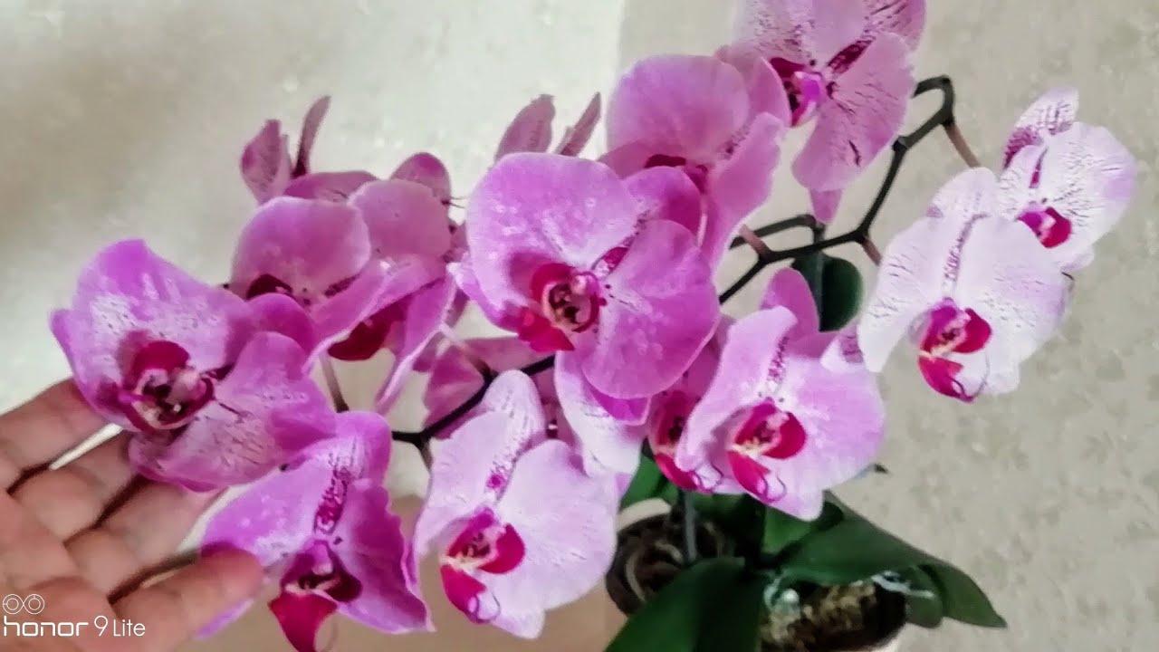 ЦВЕТОНОС ИЗ ТОЧКИ РОСТА. Орхидея с цветоносом из точки роста опять цветёт!!! 😊