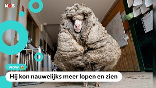 Verdwaald schaap heeft vacht van wel 35 kilo