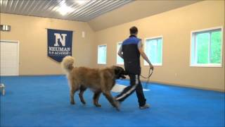 Steven (Leonberger) Boot Camp Dog Training Video