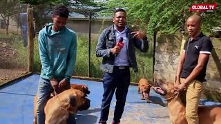 KIWANDA CHA KUZALISHA MBWA Arusha ,Wanakula Wali Nyama / Wanapanda Ndege