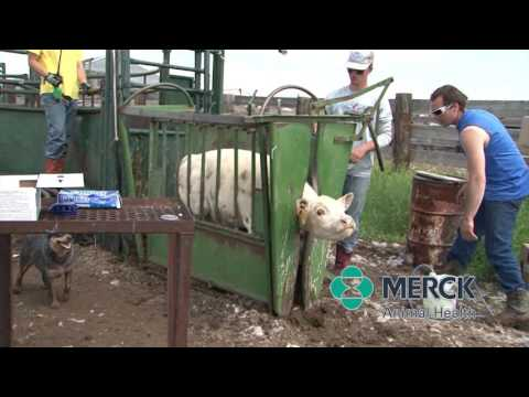 Merck Animal Health - Vaccine Handling