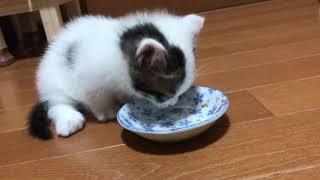 ごはんの後すぐ、トイレに行く子猫がかわいい