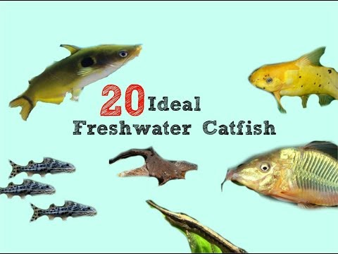 20 Catfish That WON'T Bust Your Tank