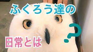 フクロウと暮らすと楽しい![It is fun to live with an owl!]