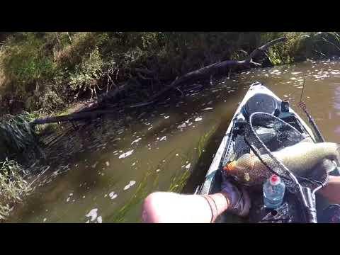 Yarra River Murray Cod