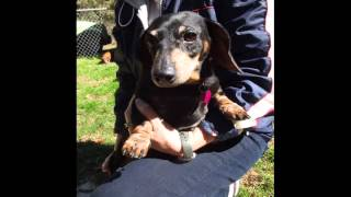 Dare Dachshund Adoption Rescue And Education - Foster Girls