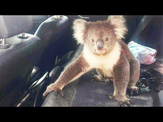 Koala Bear Cools Off in Car