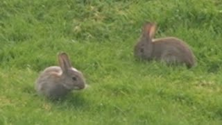 Cute Baby Wild Rabbits Discover Spring