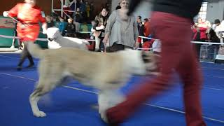 Армавир 25 ноября 2018. Ринг САО, суки-юниоры.