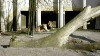 blijdorp 2006 brullende leeuw