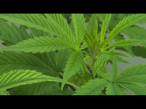 Australia cautiously enters medical marijuana market