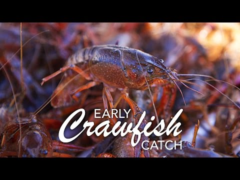 Early Crawfish Catch