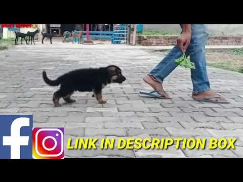 german-shepherd-&-labrador-puppies-for-sale
