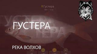 RF РР4 Русская Рыбалка 4 Река Волхов Густера