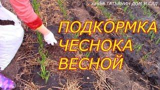 видео Подкормка чеснока весной