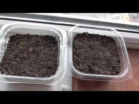 Семена клубники после стратификации взошли намного хуже!