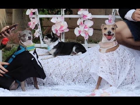 Download Youtube: My Dogs' Wedding