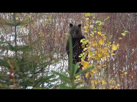 Grizzly Bear Contact 2017 In BC