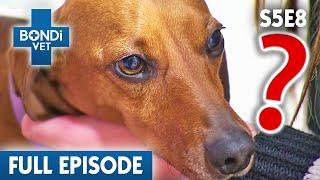 Sick Sausage Dog | S05E08 | Bondi Vet