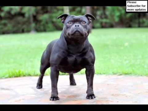 Dog Staffordshire Bull Terrier | Picture Collection Of Terrier Dog Breed