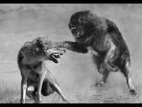 ilirya çoban köpeği kurtları öldürüyor sarplaninac