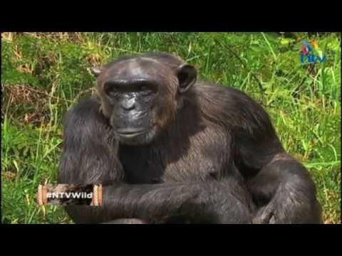 NTV Wild Talk: S2 E10 'Saving our cousins'