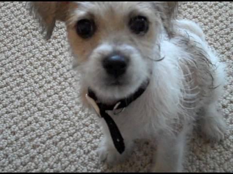 Cutest Jackapoo Puppy Air Dries YouTube