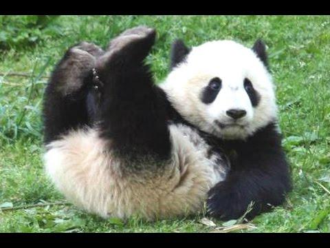 Panda Bear - A Funny Panda And Cute Panda Videos Compilation    NEW HD