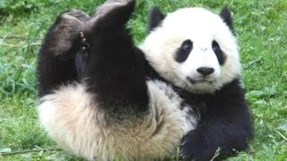 panda bear   a funny panda and cute panda videos compilation new hd