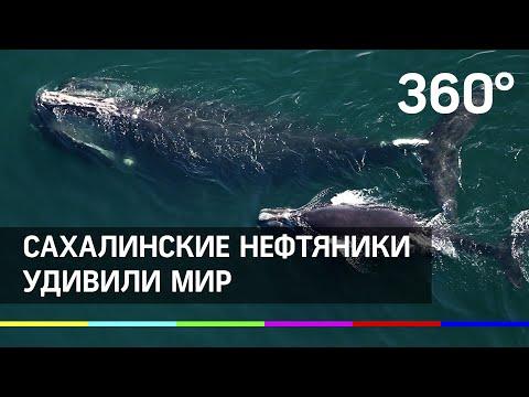 Бум рождаемости у китов: сахалинские нефтяники удивили мир