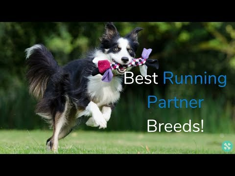 Which Dog Breeds Make The Best Running Partners?