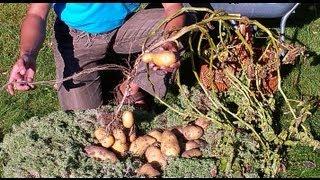 картофель озимый под сено и мох 2 часть(Это вторая часть часть видео, в котором я показываю и рассказываю о своем опыте: выращивания озимого картоф..., 2013-10-02T09:45:32.000Z)