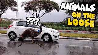 Escaped Wild Animals Compilation | Animals on the Loose! 😮