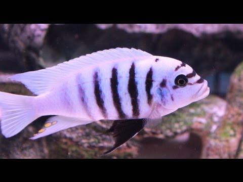 African Cichlid Update Video Pt 2 -  Zebra Chilumba
