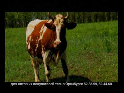 Ташлинский Коровы -