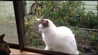外猫・まろ様の気配を察知して家猫・優香が追い払おうと近づいたけど、...