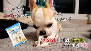 귀염폭발 강아지 치와와 쿠키 뚜비 나나 뽀의 개껌 먹방 ( 밍쿠뽀나뚜 )...